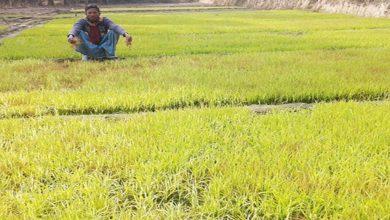 Photo of কুয়াশা ও তীব্র শীতে নষ্ট হচ্ছে বোরোর বীজতলা