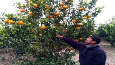 Photo of সমতল ভুমিতে দার্জিলিংয়ের কমলা চাষ