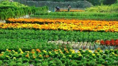 Photo of নেছারাবাদে ফুলের চাষ করে স্বাবলম্বী হাজারো কৃষক