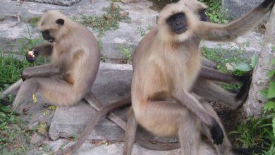 Photo of ঝিনাইদহে হুমকির মুখে কালোমুখো হনুমান